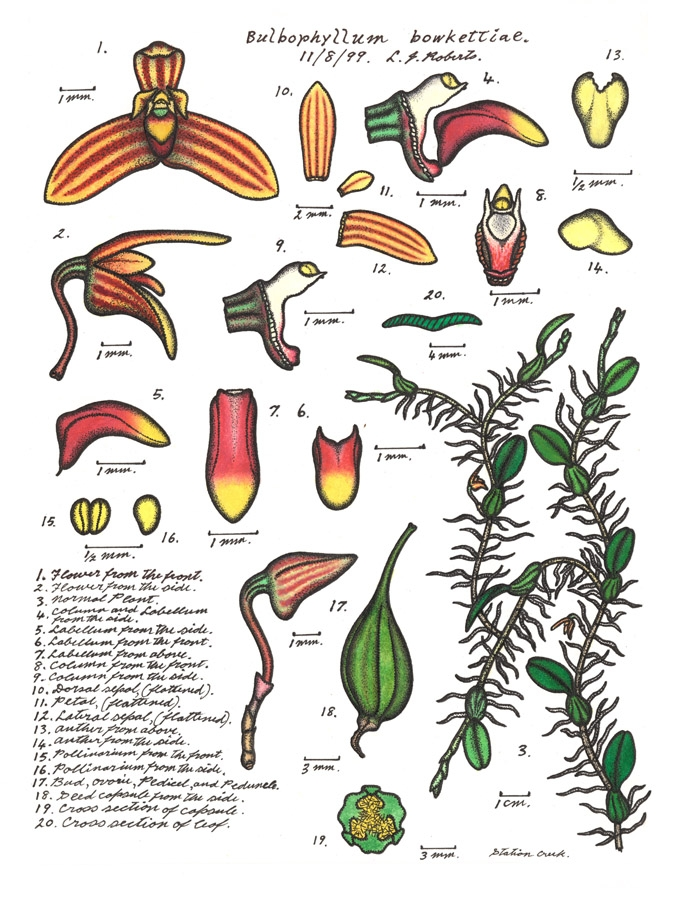 Botanical illustration of Bulbophyllum bowketiae