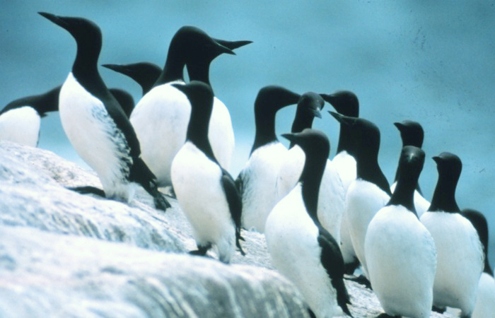https://upload.wikimedia.org/wikipedia/commons/5/50/Common_murres.jpg