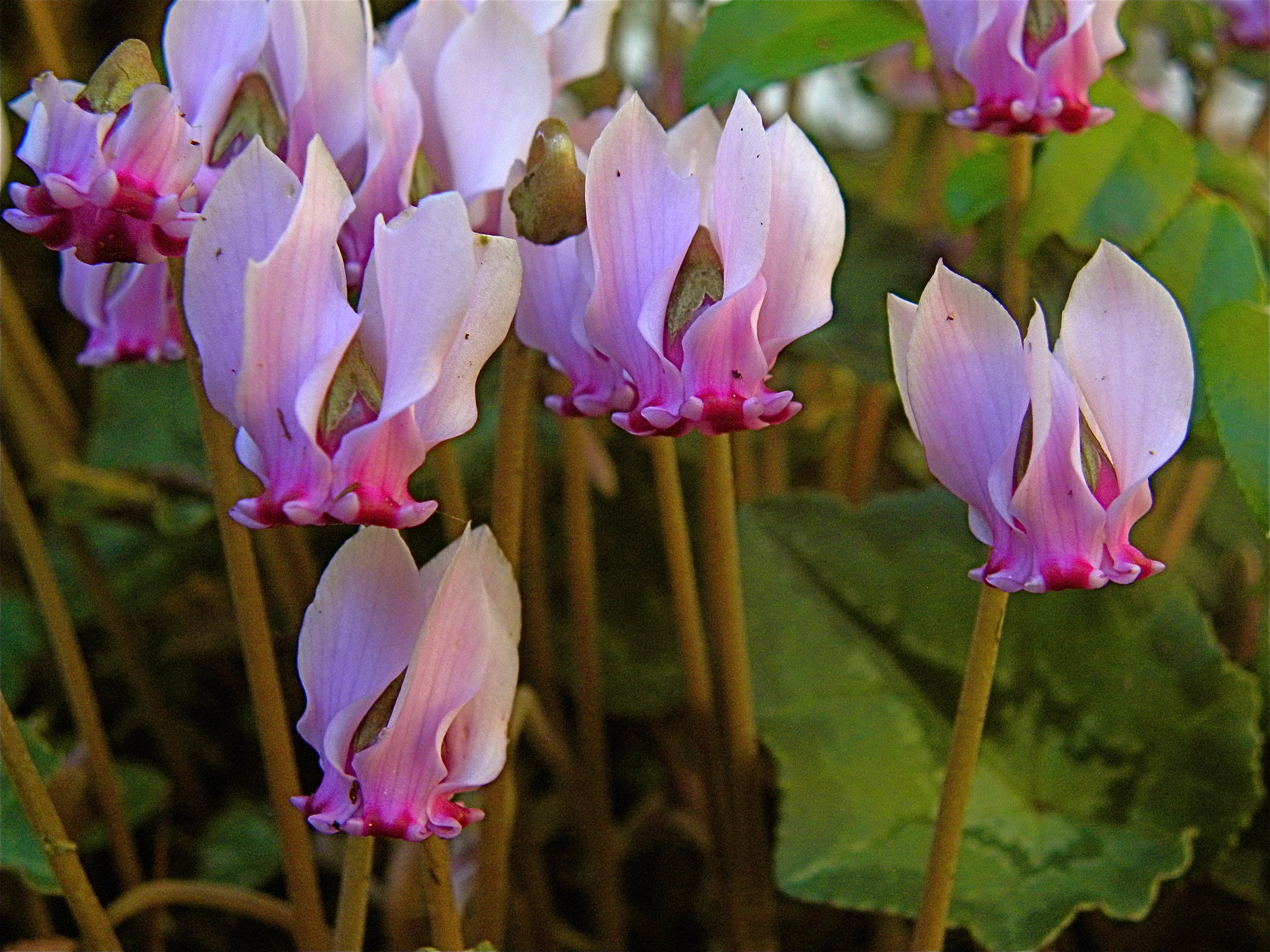 File Cyclamen hederifolium prominent auricles Wikimedia mons