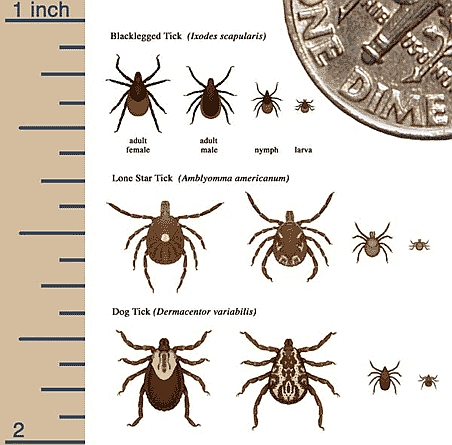 Deer Ticks 3 species