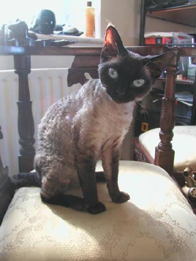 Devon Rex - Cat Scanner