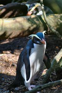 フィヨルドランドペンギン(キマユペンギン)