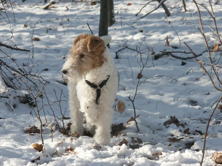 Pes Domaci Wikipedia