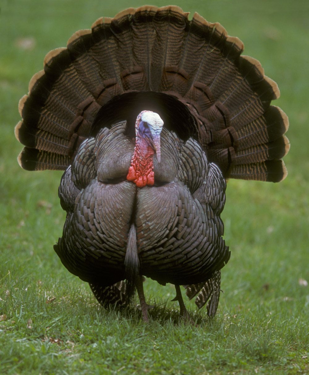 Wild turkey Wikipedia