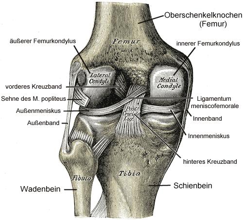 Anatomische Abbildung eines menschlichen Kniegelenks mit Knochen-, Knorpel- und Bandstrukturen