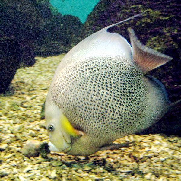 Gray angelfish - Wikipedia