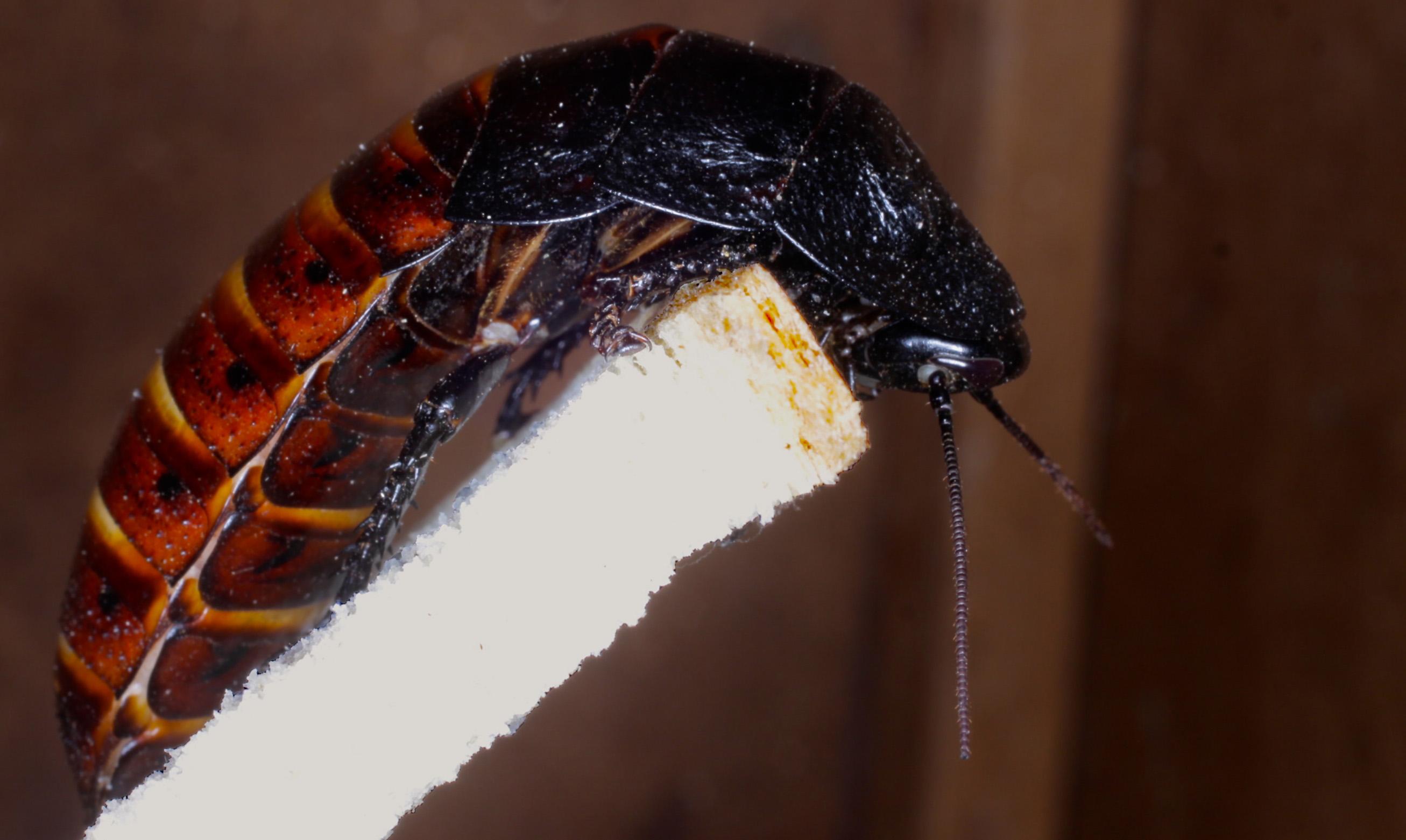 gromphadorhina .portentosa.jpg