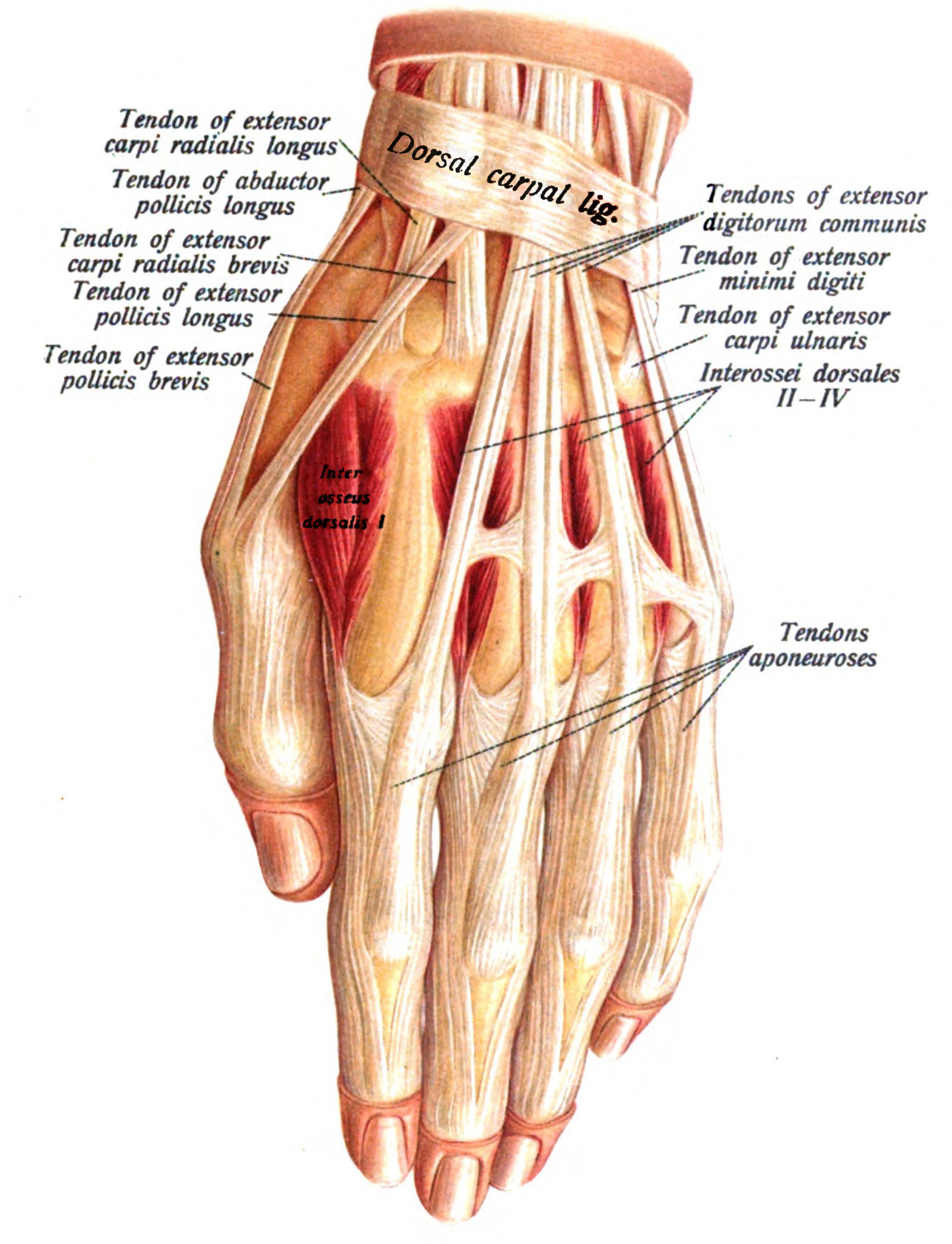 Filehand Anatomyg Wikipedia