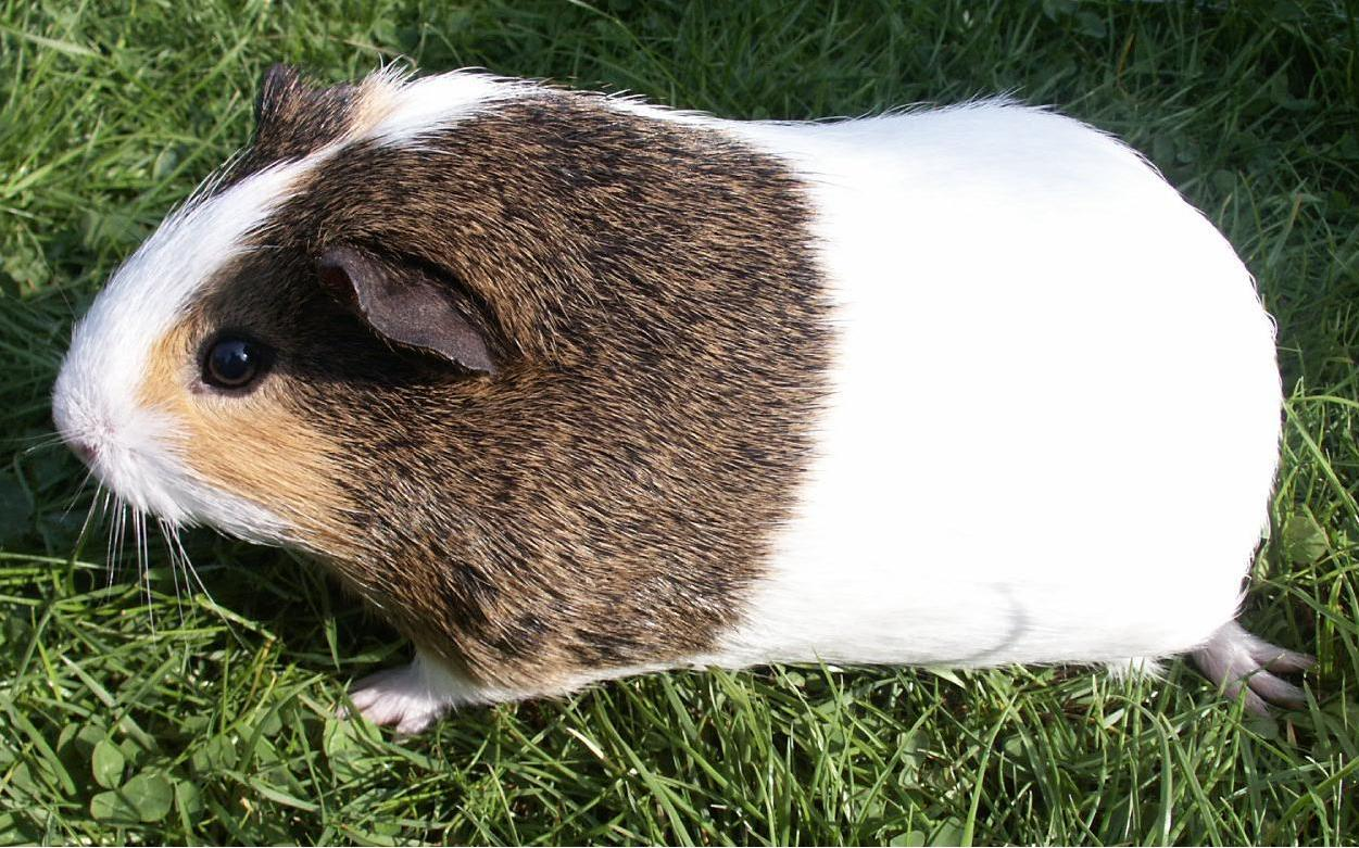 Image Result For Guinea Pig Colors