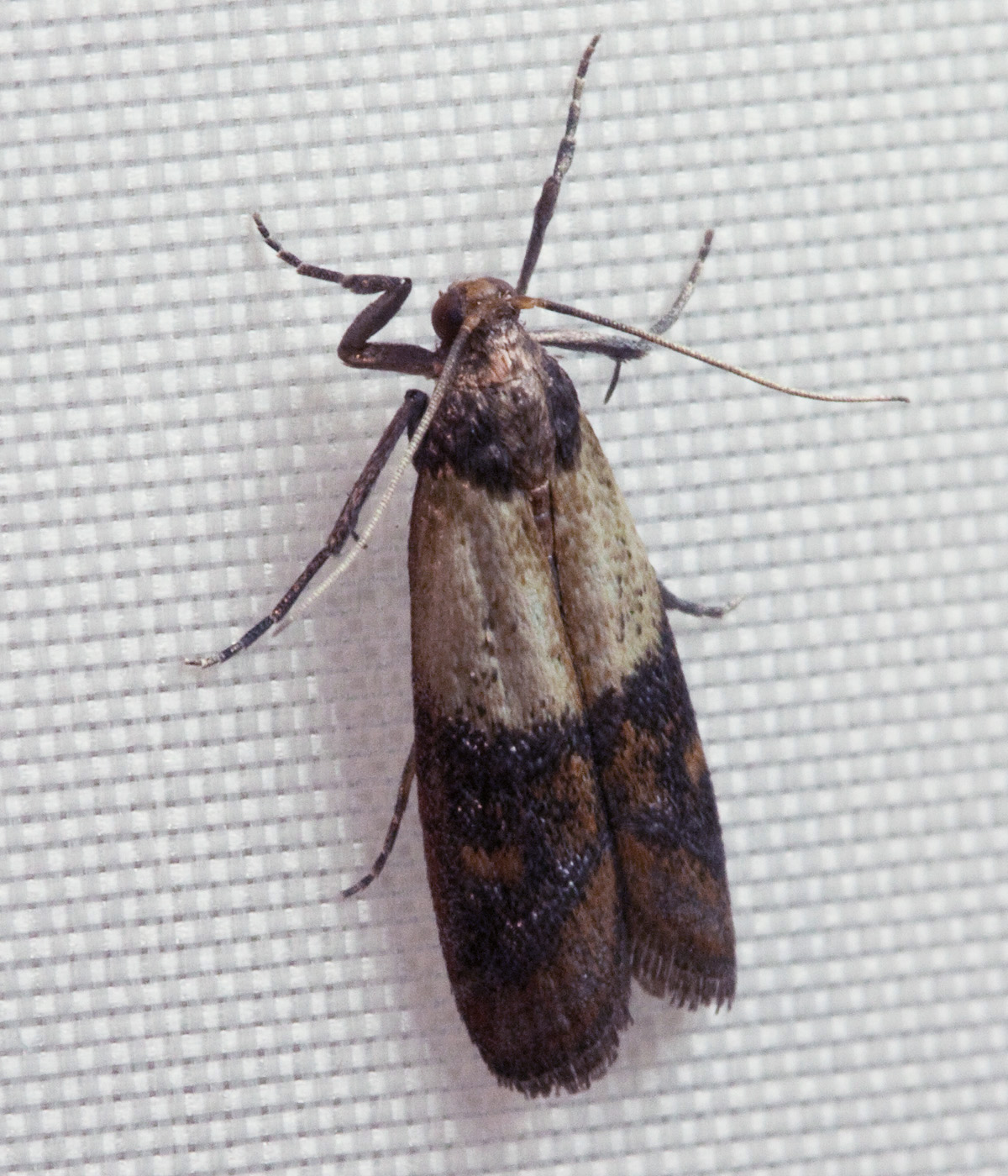 Clothes moth identification - photo#17