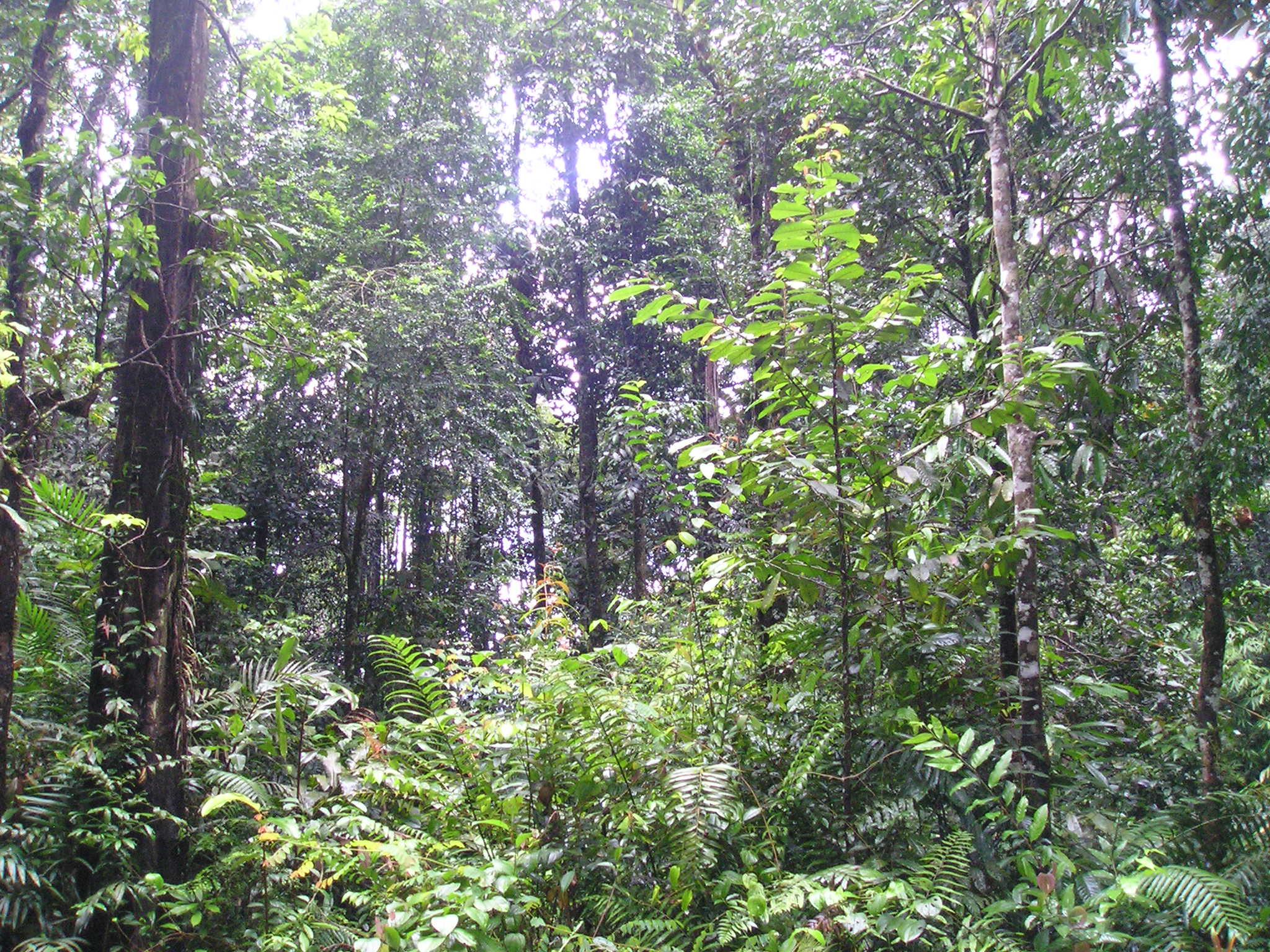 ファイル:Korbu Deep Jungle.JPG