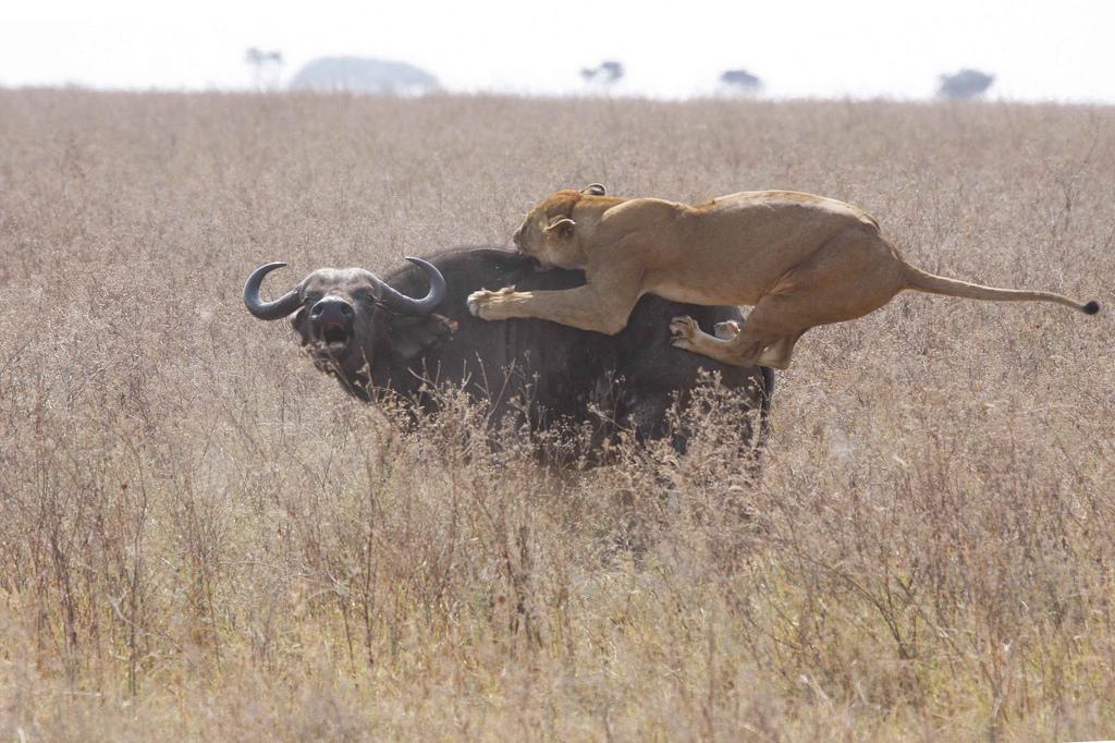 File:Lioness vs Cape B...
