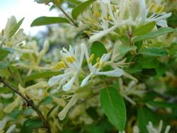 <i>Lonicera morrowii</i> species of plant