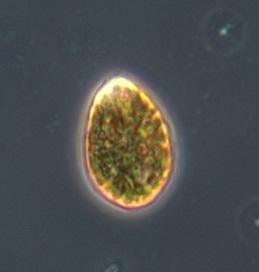 Ostreopsis cf. ovata