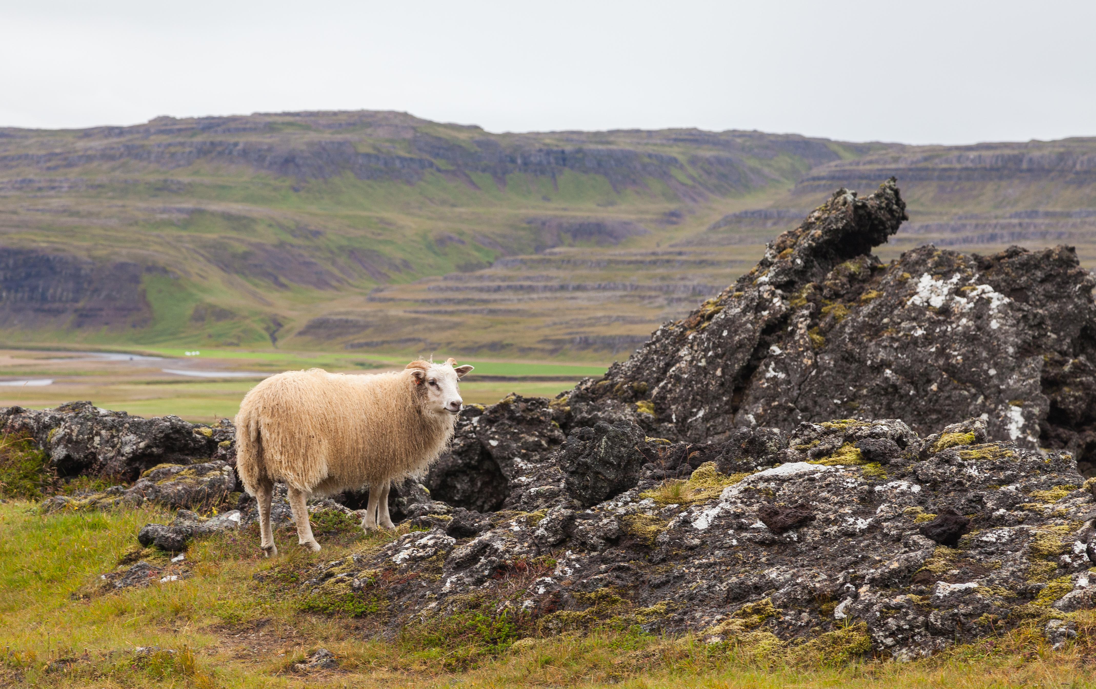 Icelandic sheep - Wikipedia