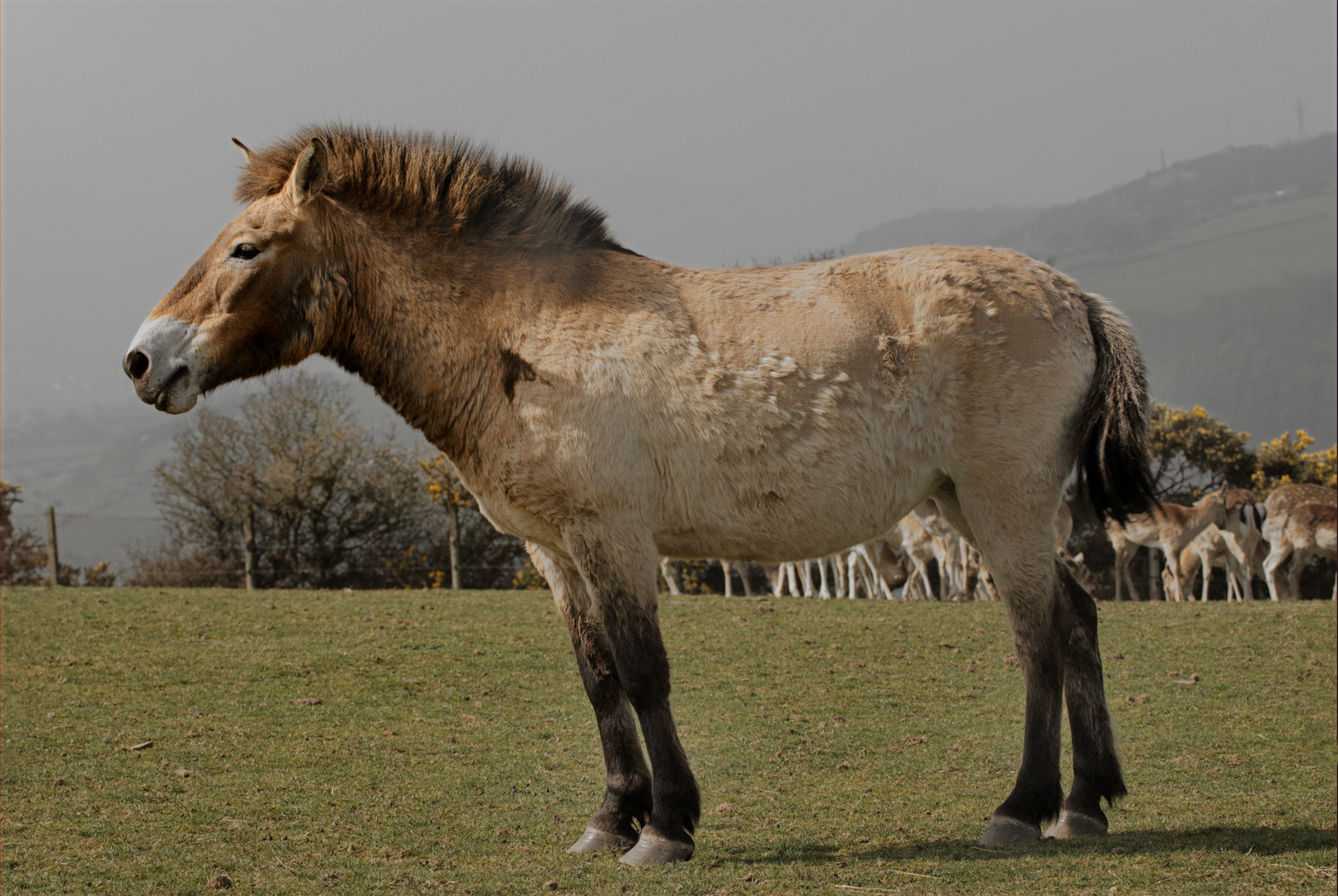 In The Beginning There Was Life Original >> File:Przewalski Wild Horse.jpg - Wikimedia Commons