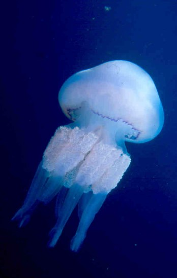Extrêmement Méduse (animal) — Wikipédia JA68