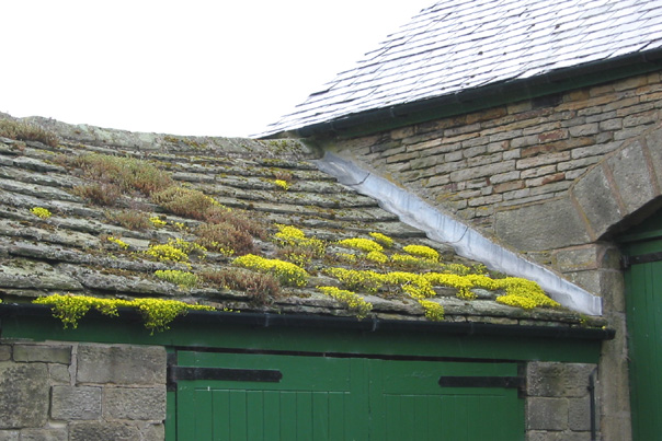 File Rock Plants On A Stone Roof Upper Midhope Geograph