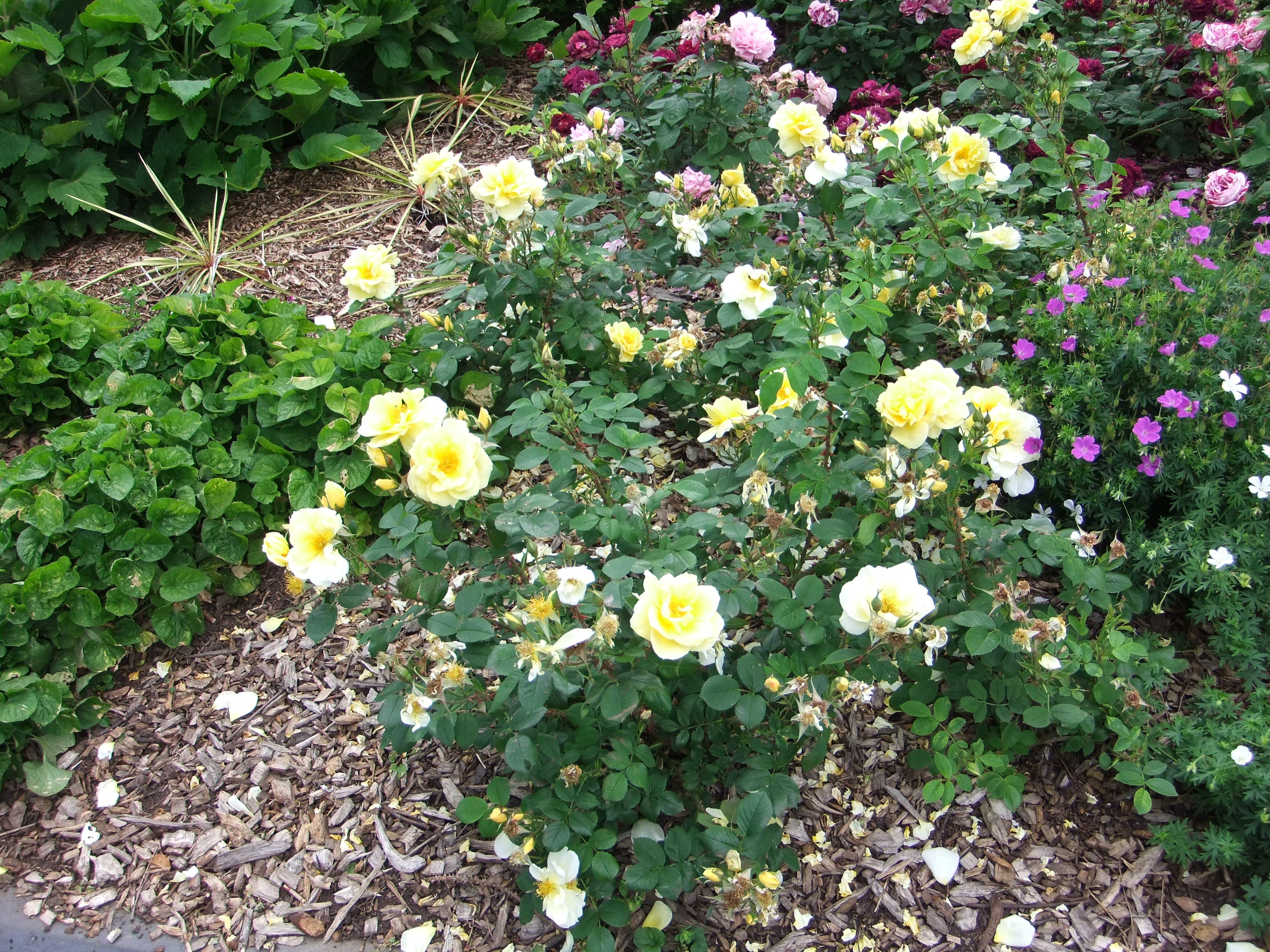 File Rose Bush Fort Royal Park Worcester England