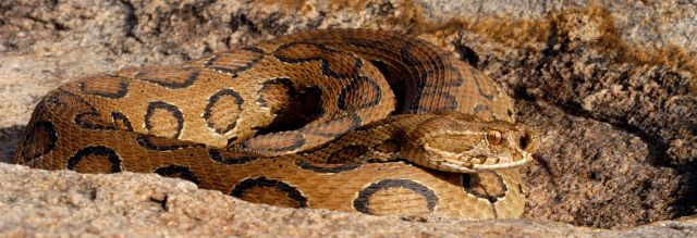 http://upload.wikimedia.org/wikipedia/commons/5/50/Russellsviper_sal.jpg