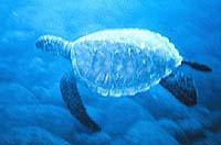 السلحفاة Sea_turtle_small.jpg