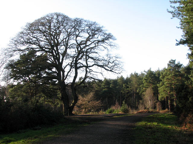 Sessile oak at footpath crossing - geograph.org.uk - 650279