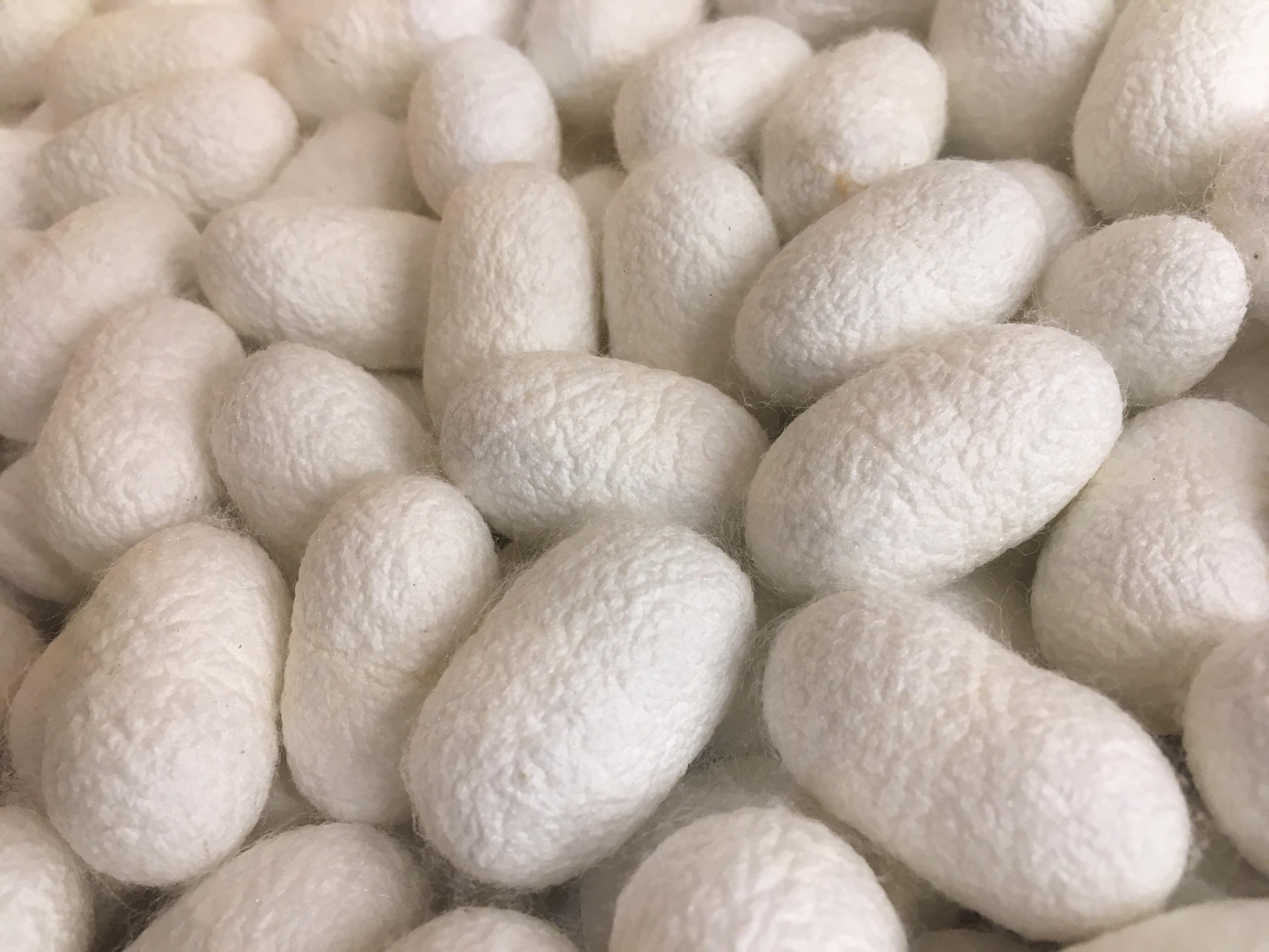 Silkworm cocoons in japan for yuki tsumugi