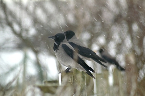 File:Snowy crows, Baltasound - geograph.org.uk - 1120159.jpg