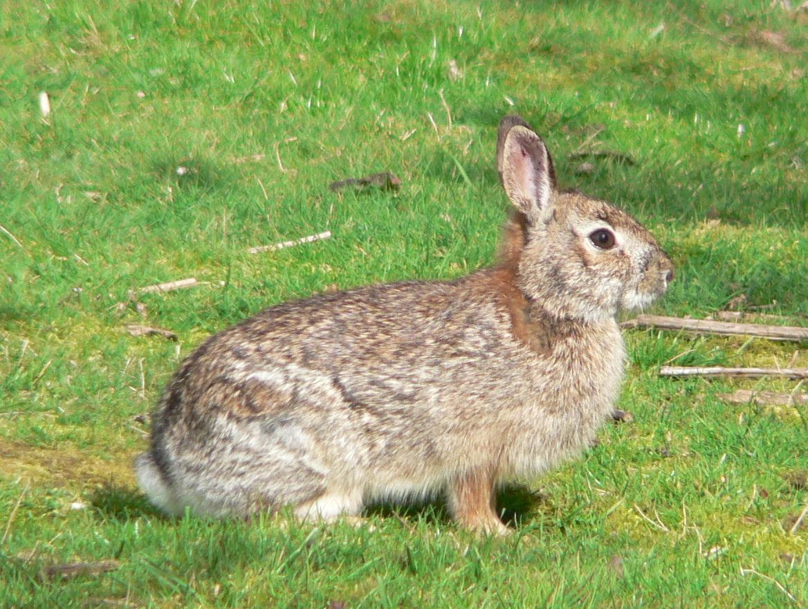 brush rabbit   wikipedia