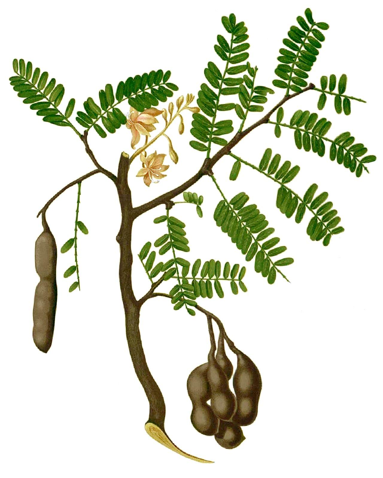 File:Tamarindus indica Blanco1.14-cropped.jpg - Wikimedia ...
