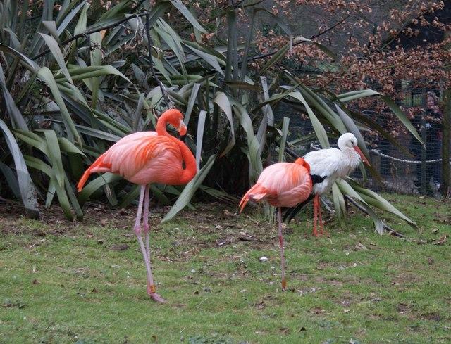 Two Pink Flamingos At Lotherton Hall Bird Garden - geograph.org.uk - 1169795