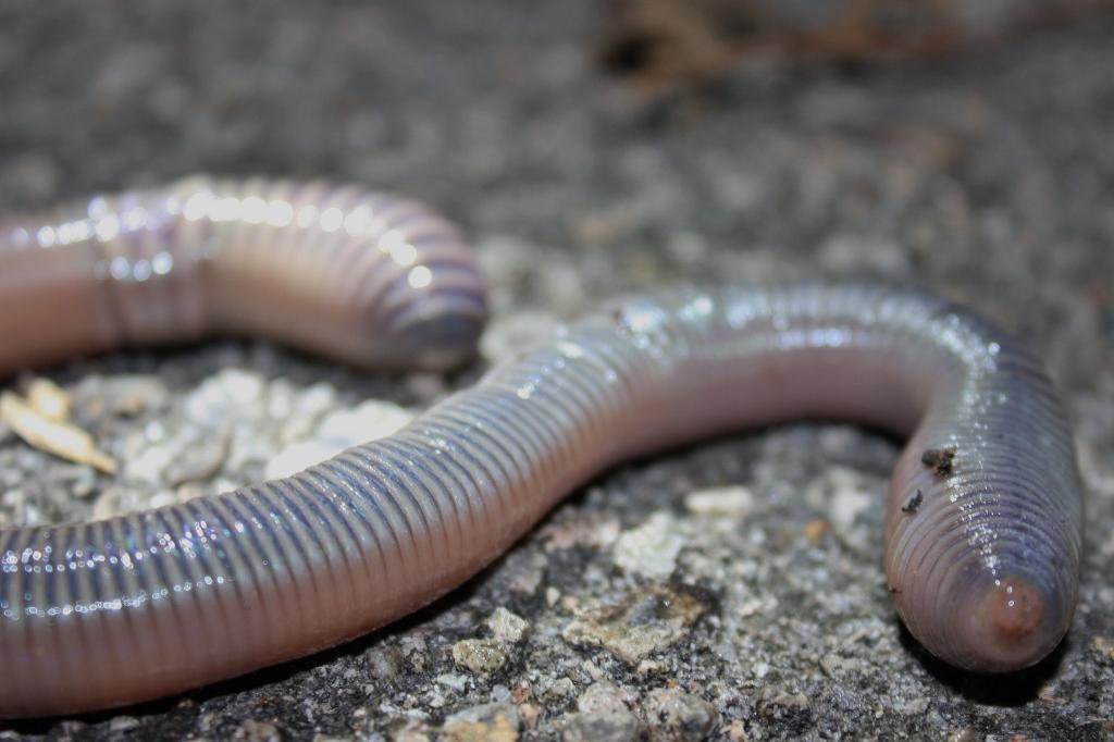 giant-earthworm
