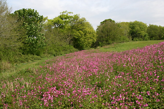 File:A Riot of Red Campion - geograph.org.uk - 794294.jpg