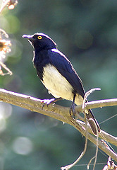 Abbott's Starling (adult).jpg