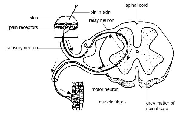 Anatomy and physiology of animals Relation btw sensory, relay & motor neurons.jpg