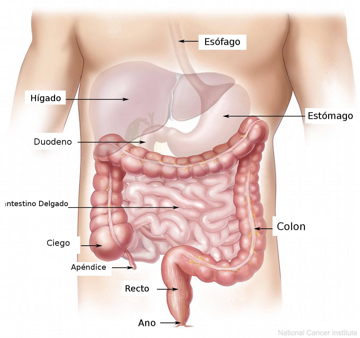 Resultat d'imatges de aparato digestivo