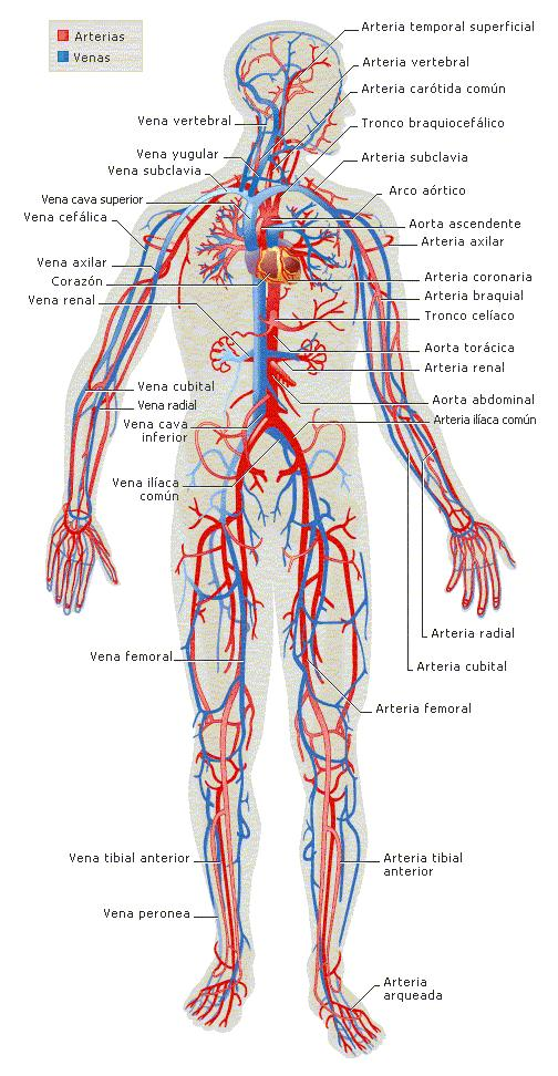 File aparato wikimedia commons - Interior cuerpo humano organos ...