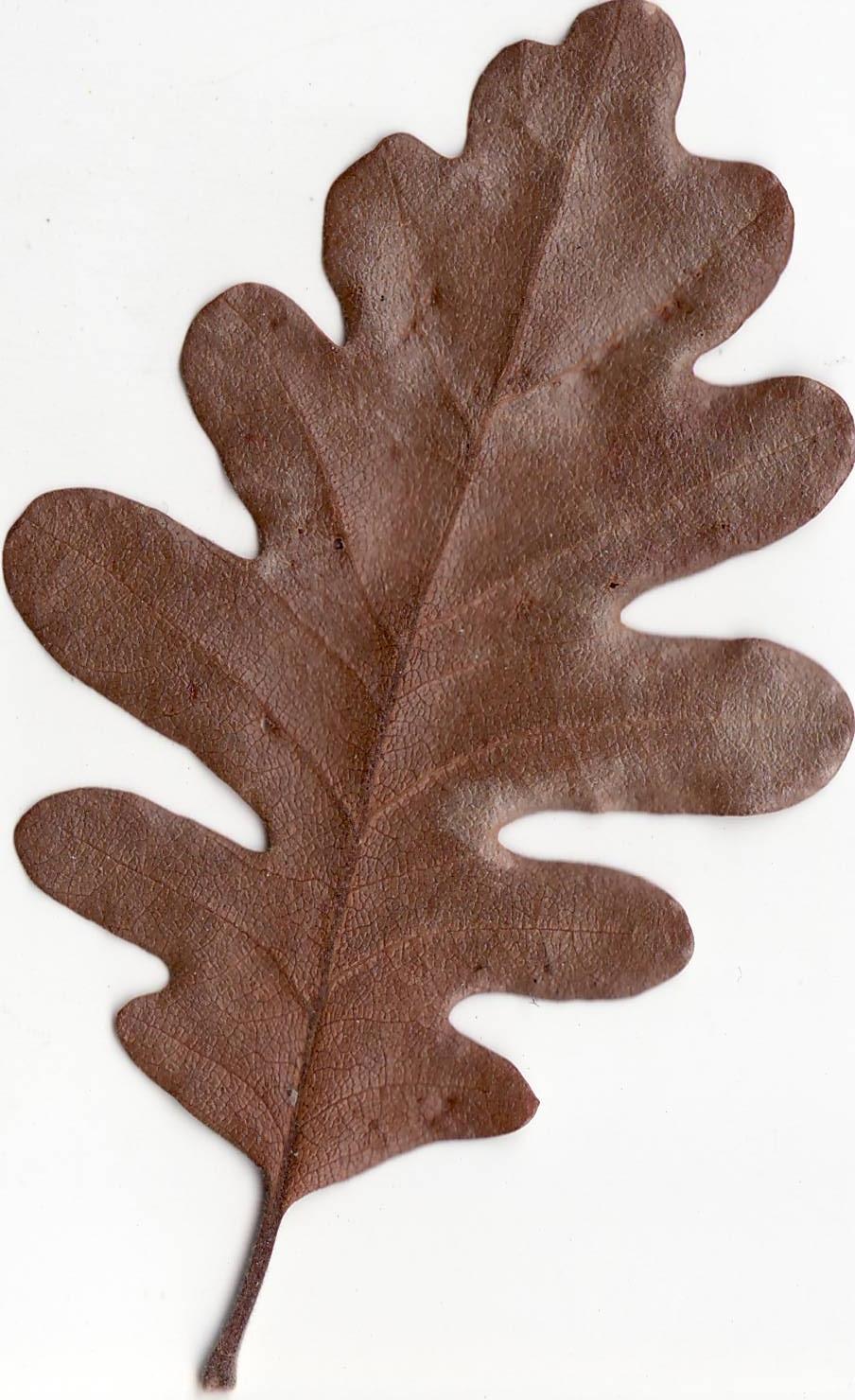 это картинка коричневый лист дуба сайте собраны лучшие