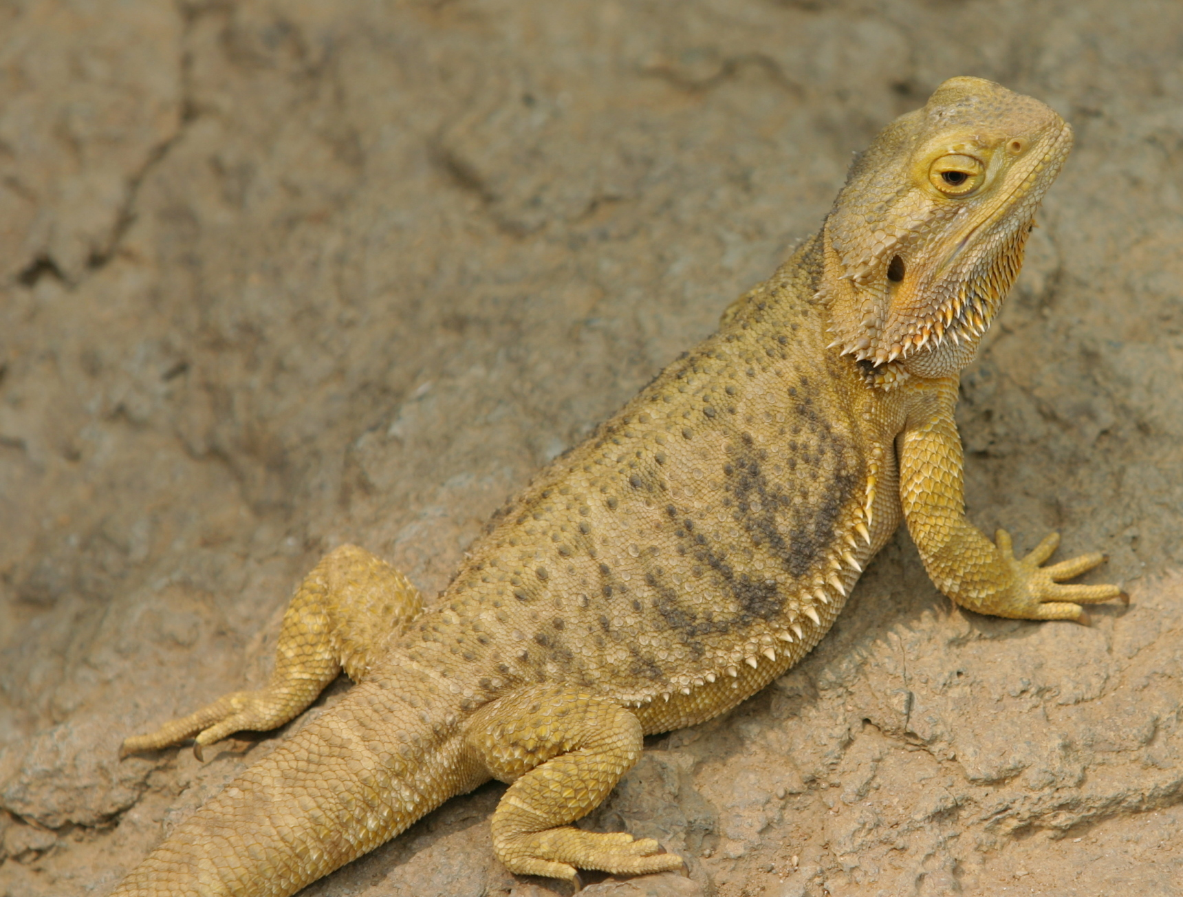 Natural History Of Bearded Dragons