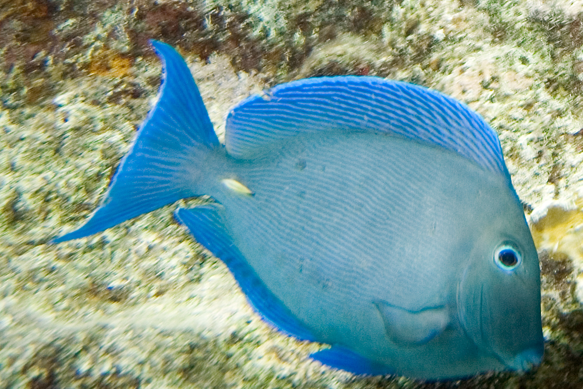 The gallery for acanthurus coeruleus blue tang for Blue tang fish facts