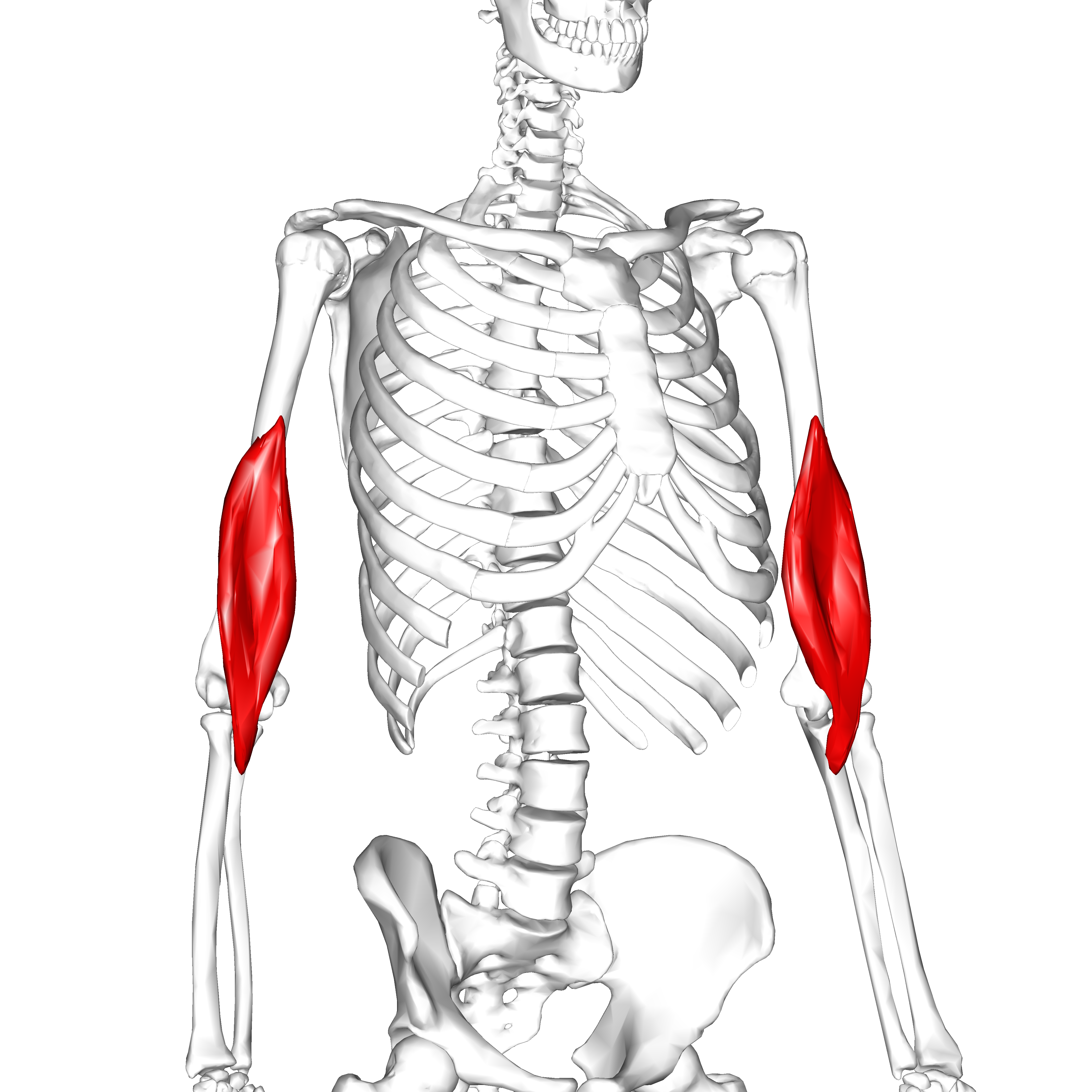 File:Brachialis muscle02.png - Wikimedia Commons