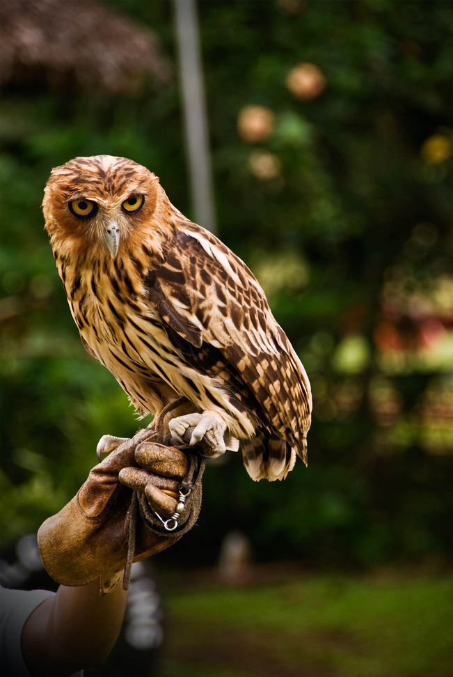 Philippine eagle-owl - Wikipedia, the free encyclopedia