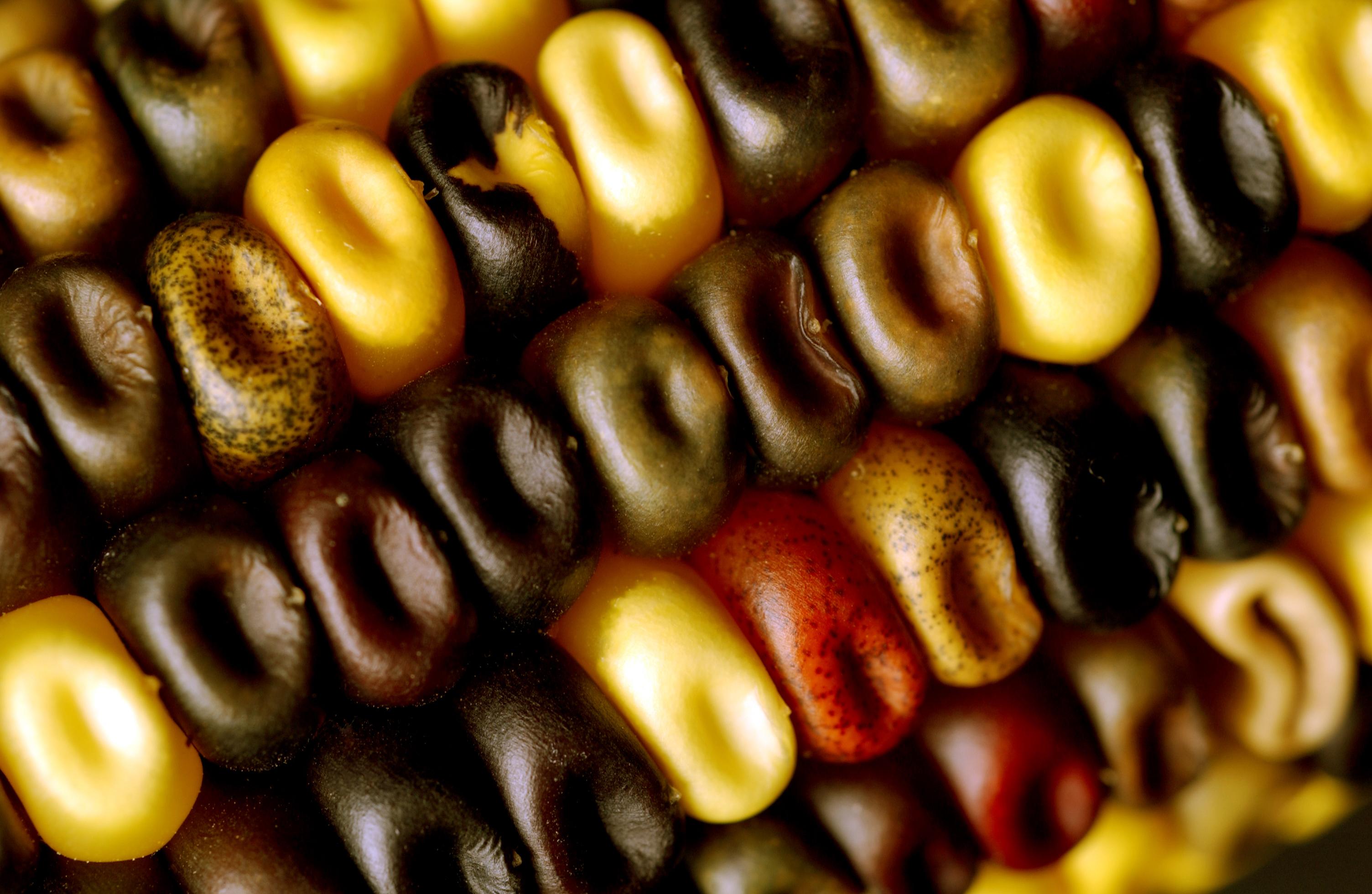 Amber Clayton Wikipedia maize - wikiwand