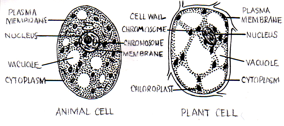 Animal cell diagram not labeled with color dinocrofo color vision wikipedia ccuart Image collections