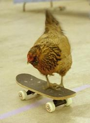 A chicken riding a skateboard Chicken on a skateboard.JPG