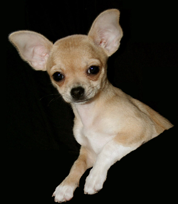 A tan colored, short haired Chihuahua
