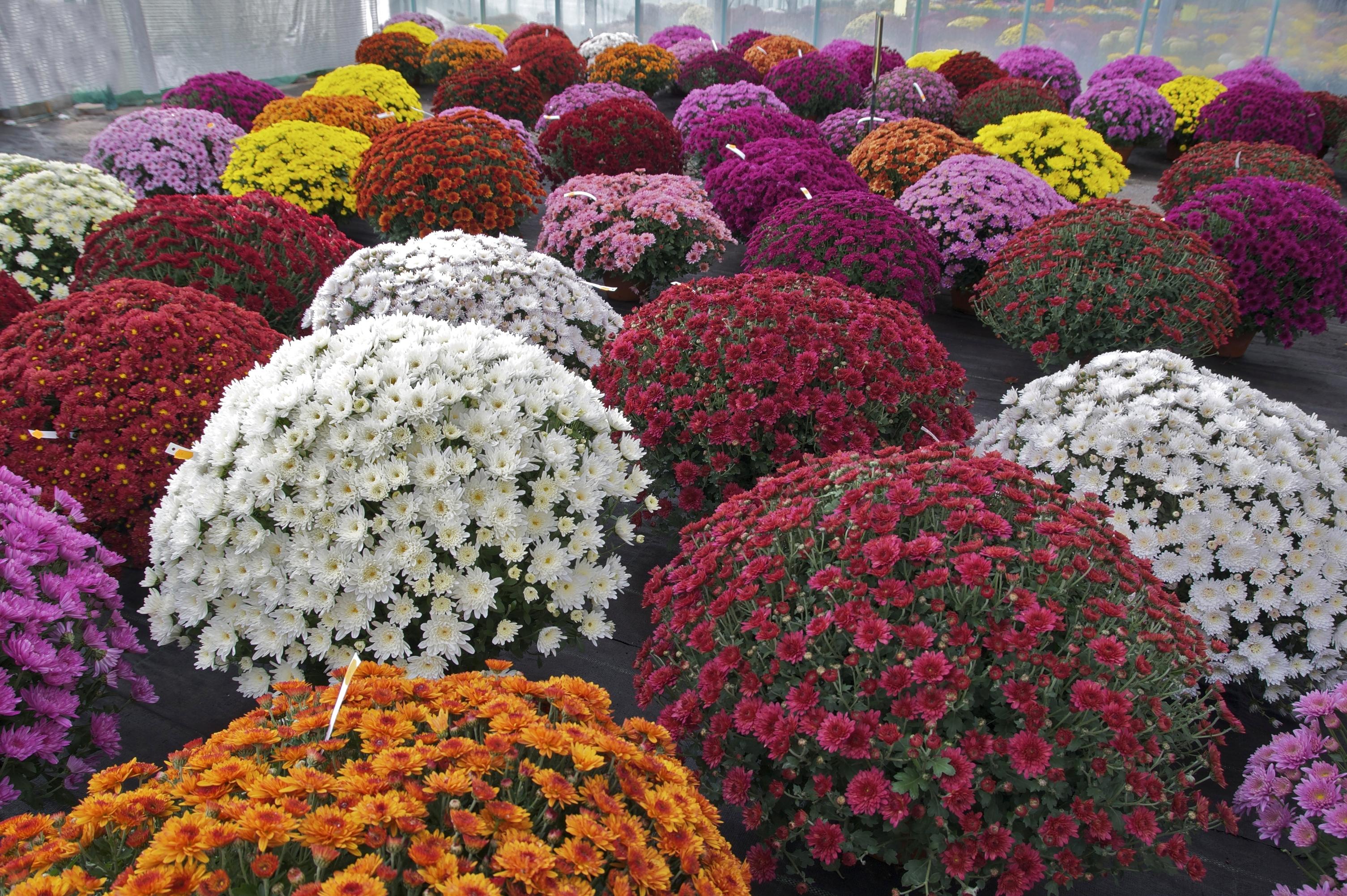 chrysanthemum x morifolium - photo #42