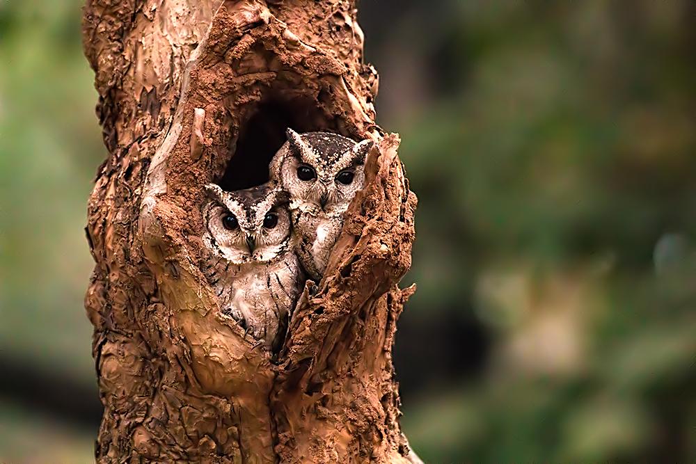 Collared Scops Owl Wikipedia