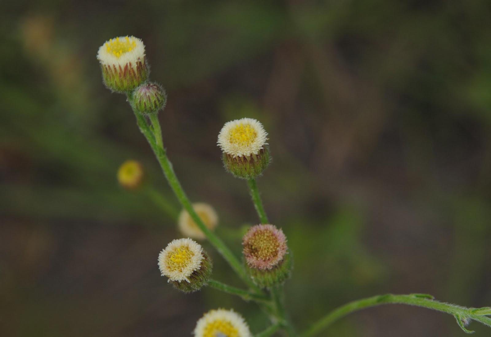 File conyza monorchis soriano palmar suelo arenoso for Suelo pedregoso