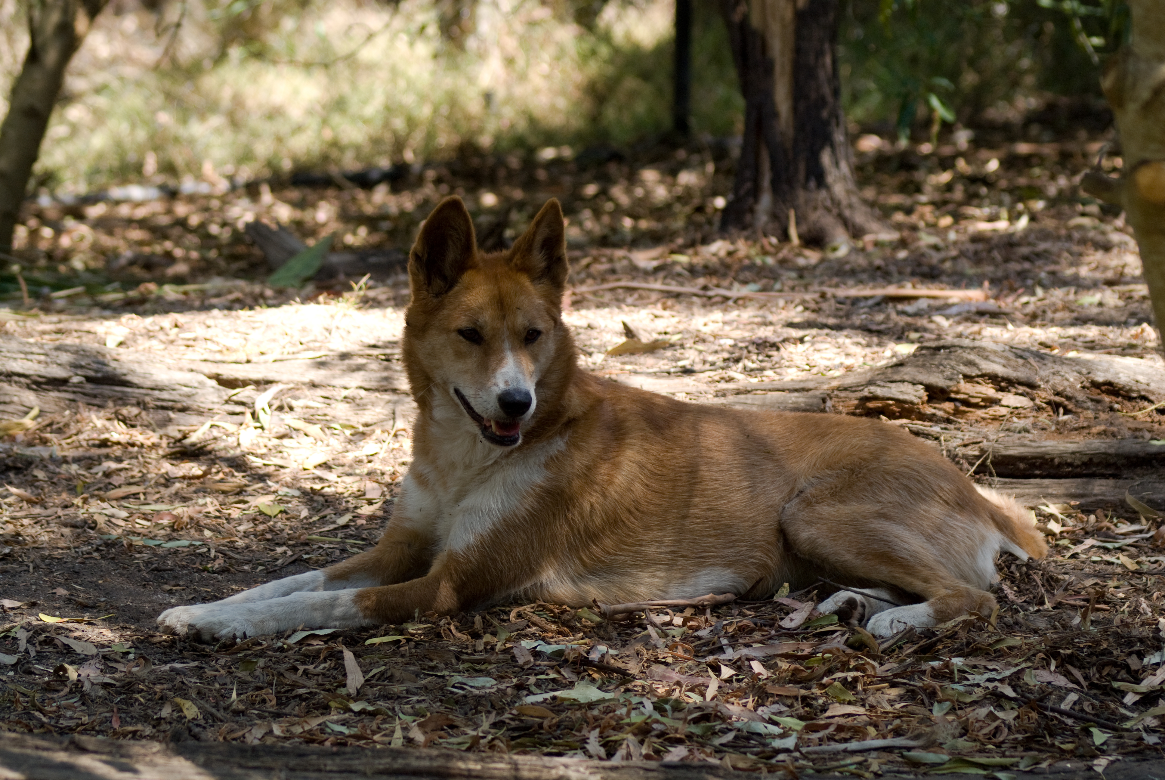 Red Canaan Dog To Adopt Near Me